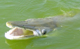 Alligator gar fish